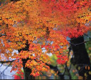 【神秘機票。賞楓最佳期間】日本米子鬼太郎 x 山口宇部計畫票5日 (限網路即時付款)