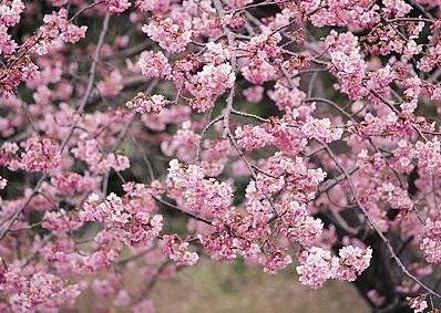 【季節限定】阿里山櫻花季‧黃花風鈴木季二日