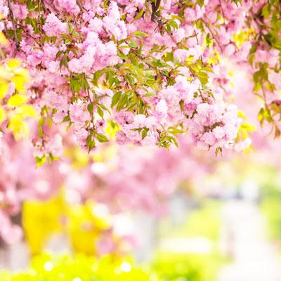 【花花世界~九州櫻花海】漫步櫻花城.湯布院柳川遊船新億萬夜景樂遊五日