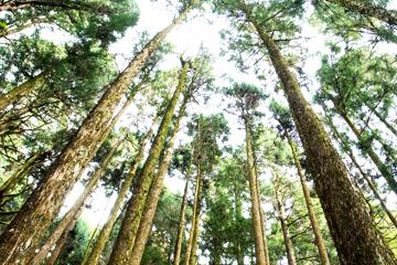【集集阿里山】集集綠色隧道阿里山日出 三日之旅