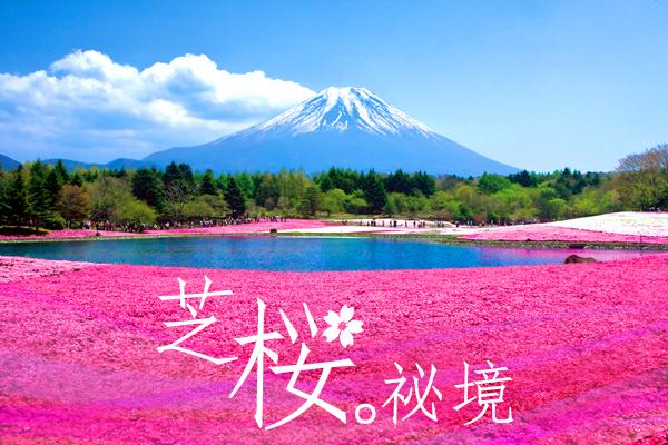 絕美賞花祕境-富士芝櫻