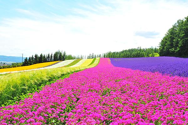 紫愛北海道~花現富良野、函館三大蟹、和風便當DIY、森之庭渡假村五日